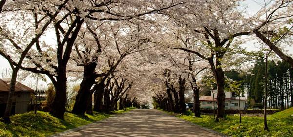松前藩戸切地陣屋 桜並木